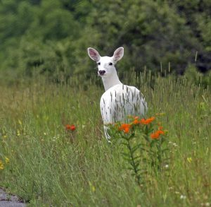 US officials confirm first-ever COVID-19 positive white deer in Ohio